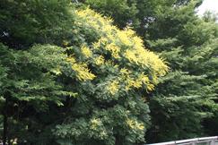 今年も咲きました。モクゲンジの花です。去年と同じ角度から。