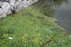 アオコ(青粉)です。手前の水草はヒシです
