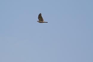オオタカの飛翔です