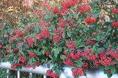 コトネアスター・フロリバンダの赤い実