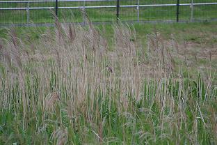 オオヨシキリが北側園地のアシ原で鳴いています