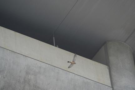 スタジアムの庇を飛ぶチョウゲンボウです。