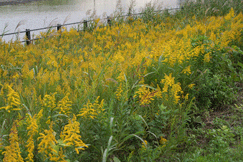 セイタカアワダチソウの花です