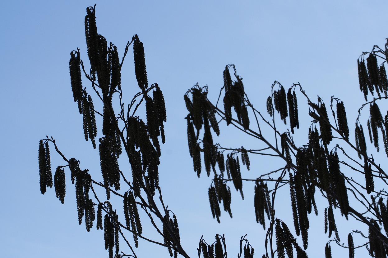 ハンノキの花穂です