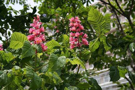ベニバナトチノキが赤い花を咲かせています