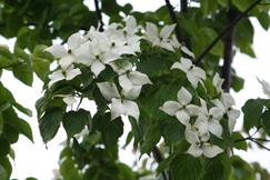 ヤマボウシの花です