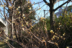 ロウバイ(蝋梅)の花です