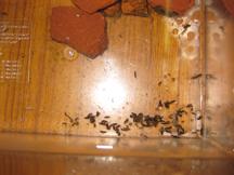 ヘイケボタルの幼虫