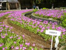 浮間野生種の花