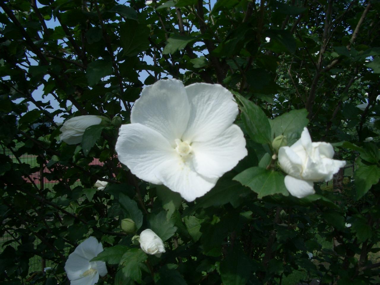 ムクゲ(木槿)の花