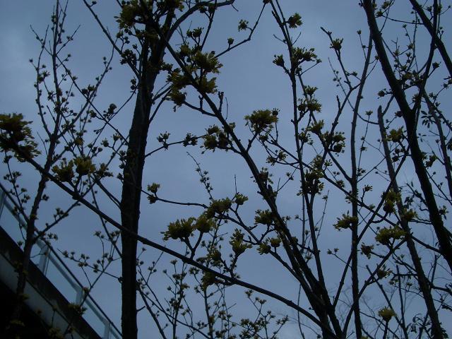サンシュウ(ミズキ科)の花です